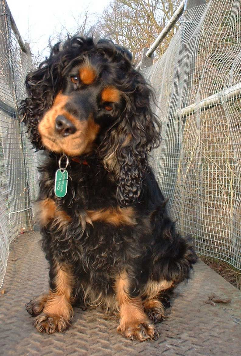 Cocker Spaniel Black And Tan English Cocker Spaniel Cocker Spaniel English Cocker