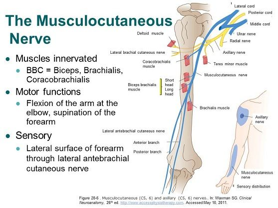 Accessphysiotherapy Brachial Plexus And Peripheral Nerves Muscle
