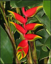 Heliconia Rostrata Also Known As The Lobster Claw Or False Bird Of Paradise Gorgeous Flowers On Nevis Trees To Plant Heliconia Heliconia Flower