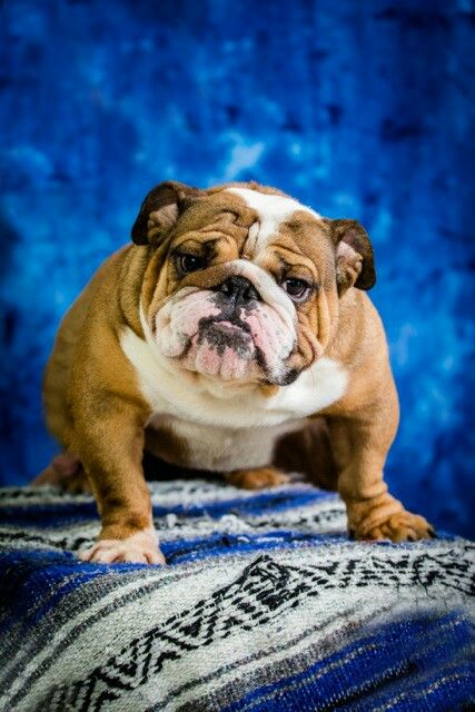 Big Red English Bulldog Bulldog English Bulldog French Bulldog
