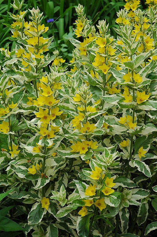 Yellow Loosestrife Lysimachia Vulgaris 200 Seeds Damp Loving Wildflower