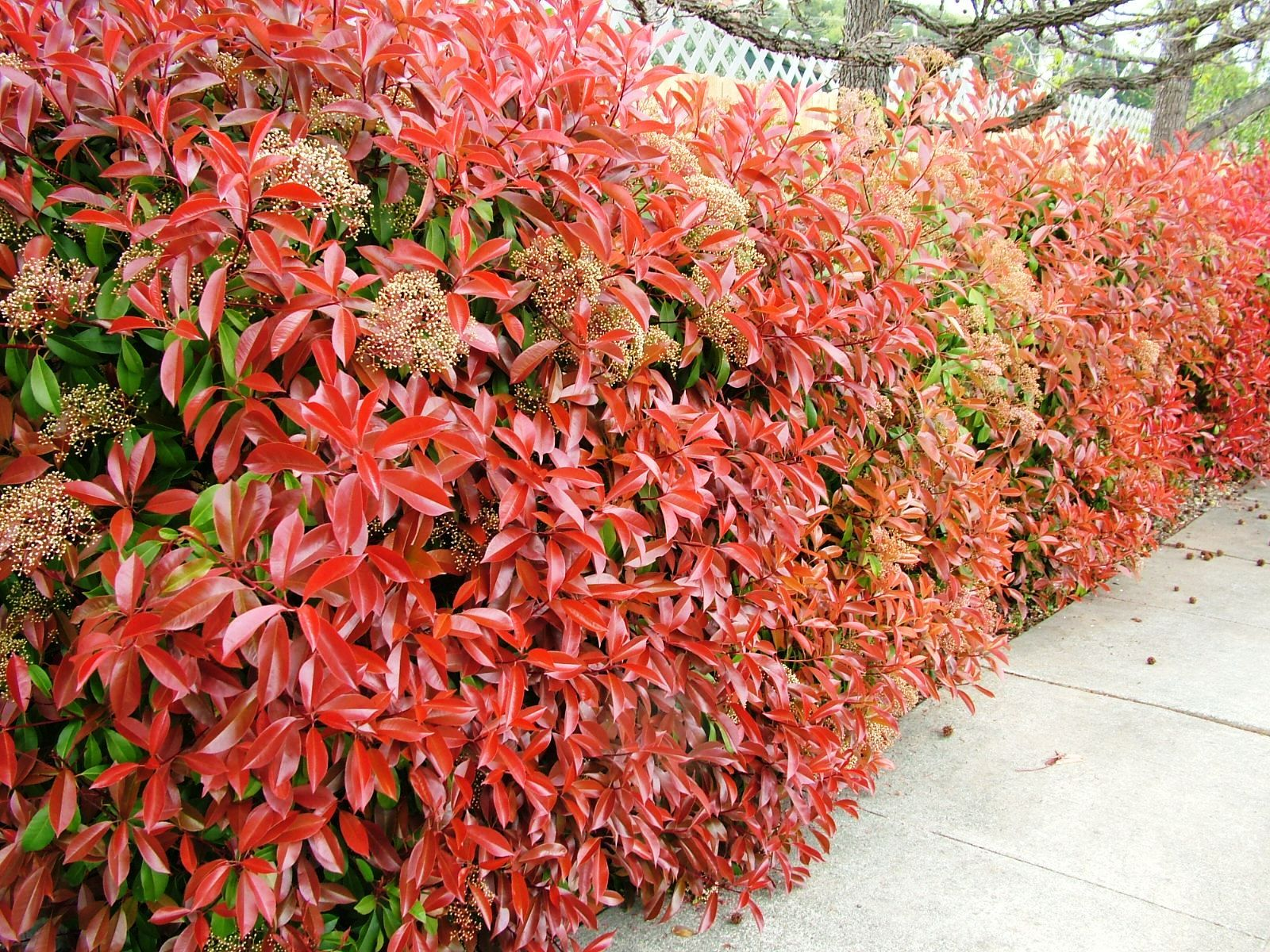 474052503786897817acab3bb75b7fd6 Red Broadleaf Houseplants on flowers red, berries red, cactus red, ornamental grasses red, animals red, pots red, design red, peppers red, nature red, mums red, orchids red,