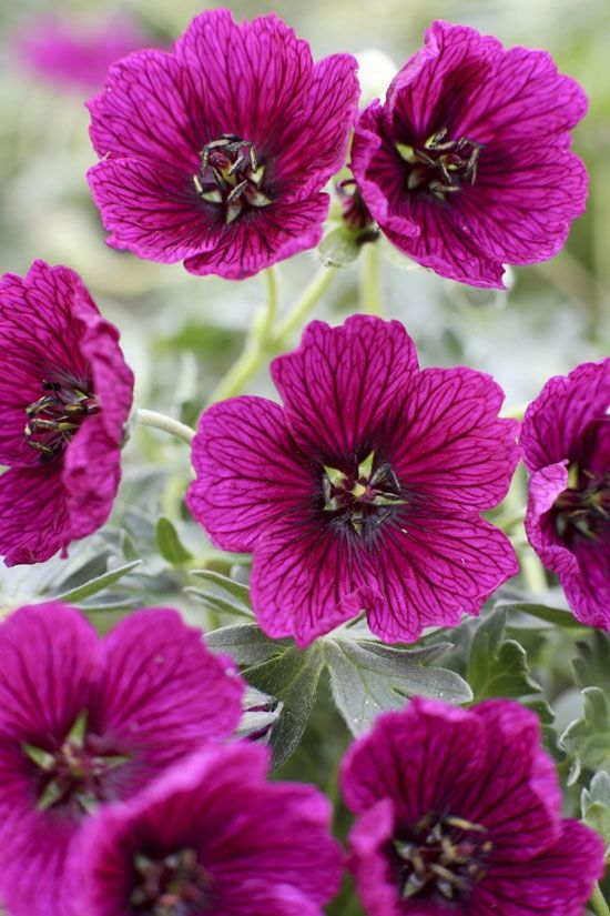 Geranium cinereum 'Jolly Jewel Purple' ®