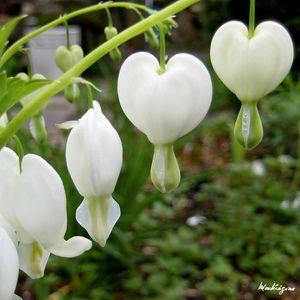 The Bleeding Heart Plant Growing Tips Bleeding Heart Shade Flowers Plants
