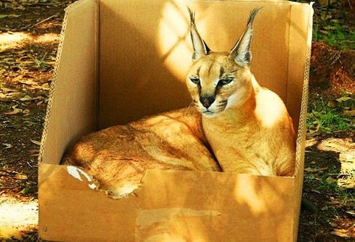 24 big cats that prove they re no different than any ordinary house rh pinterest co uk