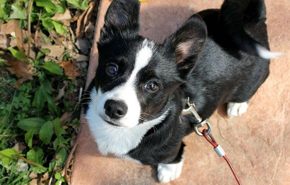 Corgi Boston Terrier mix...so this is basically one of the ...