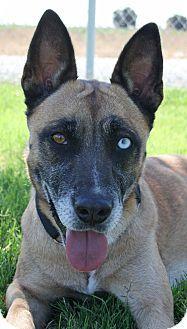 Patterson Ca Belgian Malinois German Shepherd Dog Mix Meet Ella A Dog For Adoption With Images Shepherd Dog Mix