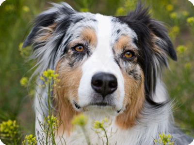 australian shepherd - Google Search