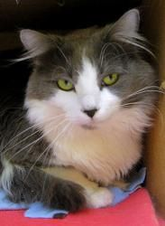 Lindt Is An Adoptable Domestic Long Hair Gray And White Cat In Saint Paul Mn Lovey Lovey Sweet As Candy Grey And White Cat Long Haired Cats Purebred Cats