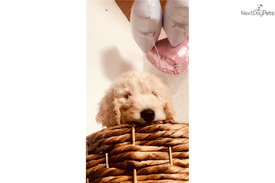 I am a cute goldendoodle puppy looking for a home on