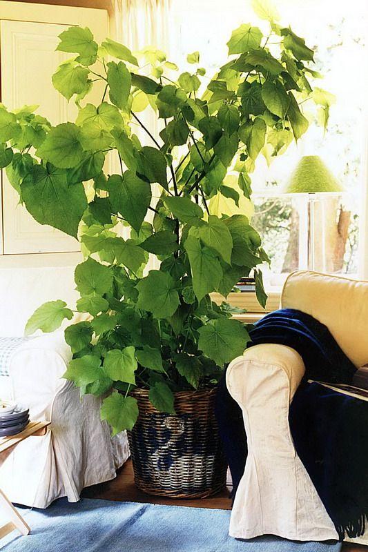 Sparmannia Indoor Lime Zimmerlinde Krukvaxter