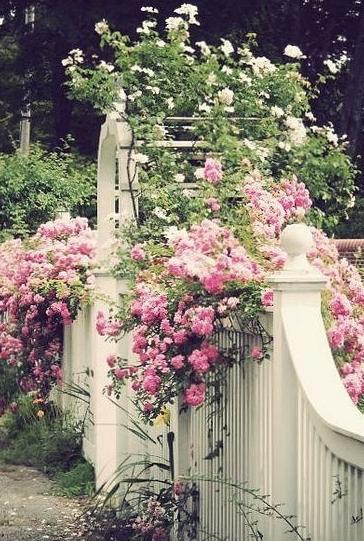 Loved my old Cecil Brunner baby roses.