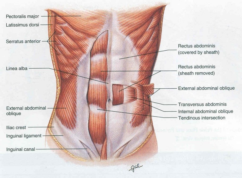 Core Muscle Anatomy Tag Anatomy Of Core Muscles Human Anatomy