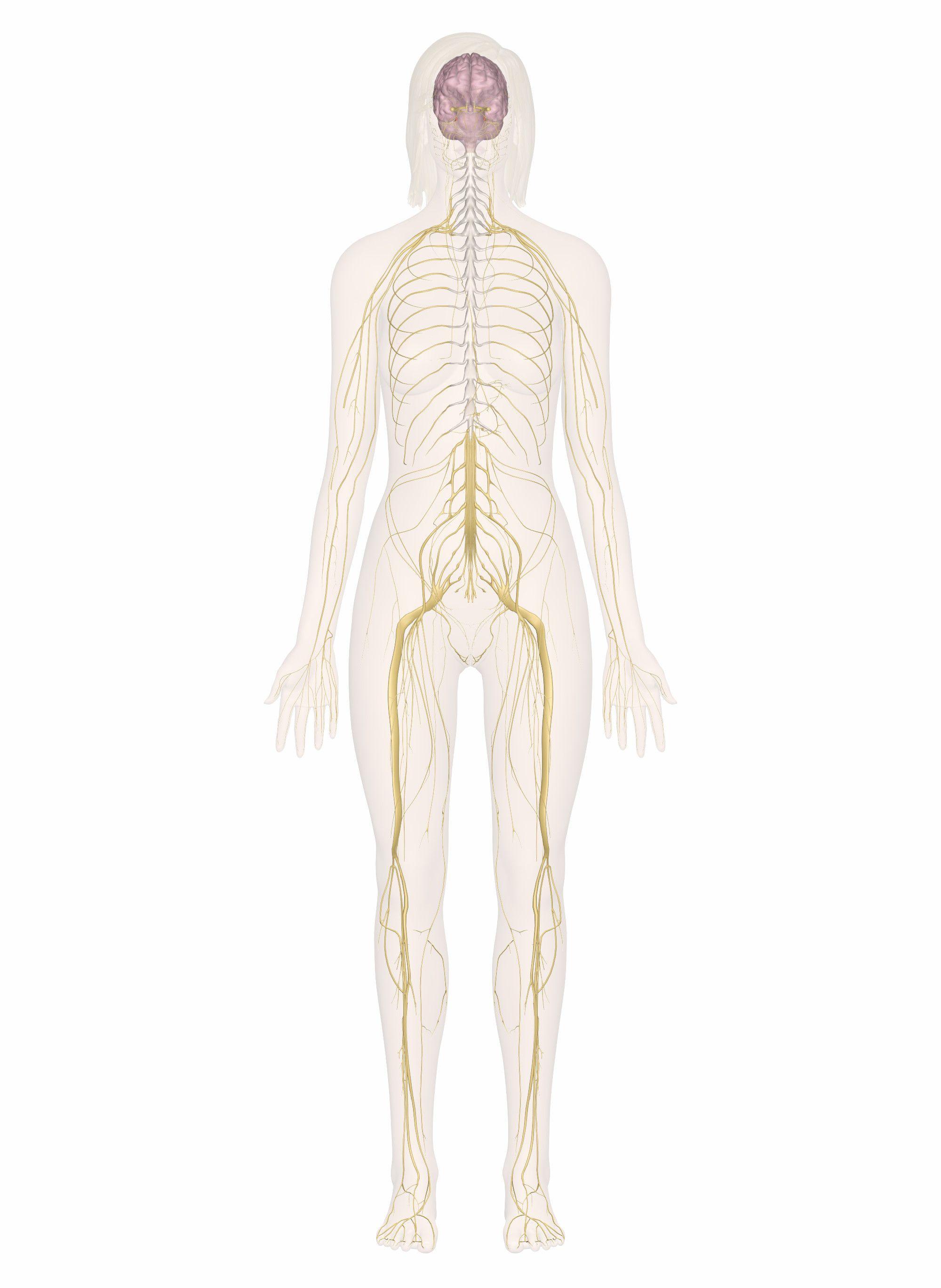New Nervous System Worksheet Answer Key