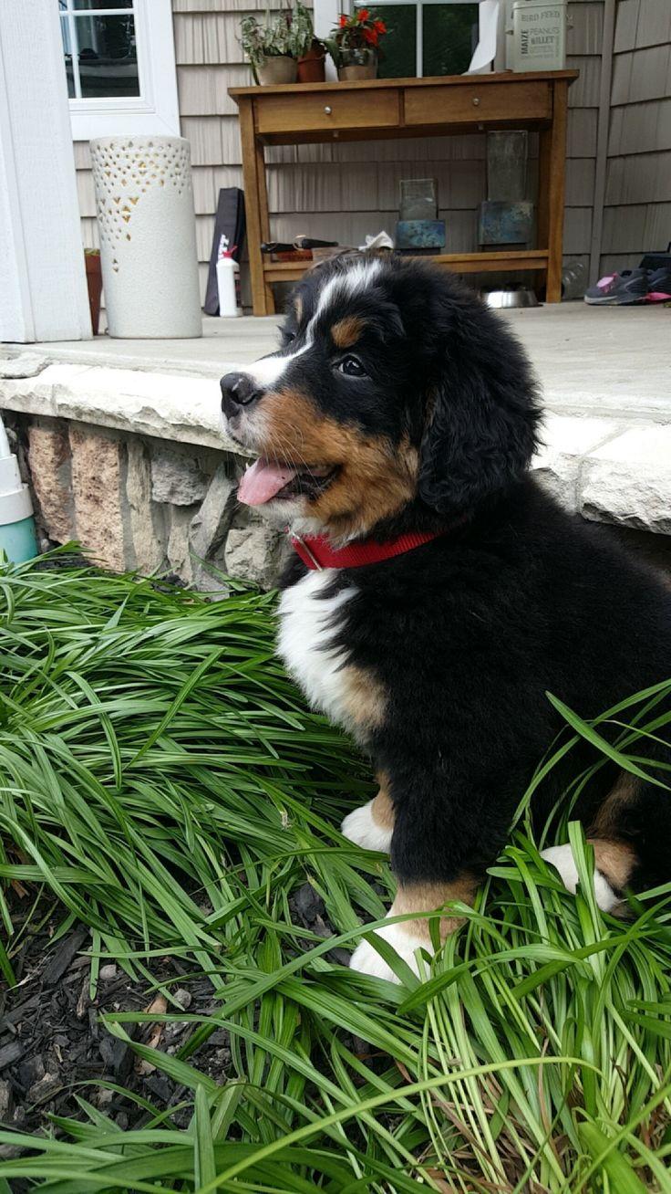 What a precious beautiful bernese mountain dog puppy