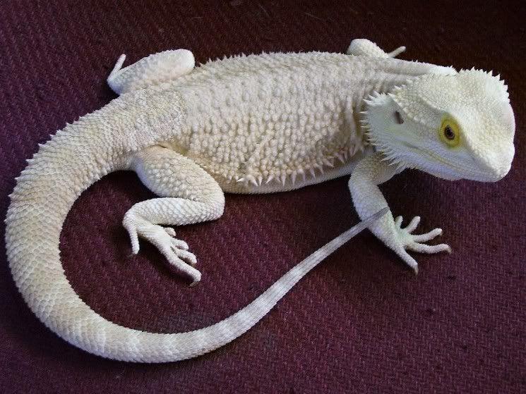 snow beardie :) one of my fave colors morphs I think ...