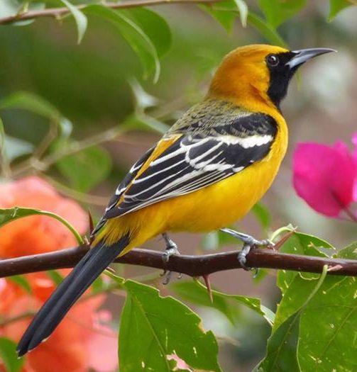 Hooded Oriole Baja California Sur By Linda Mitchell Bird Photo Birds Bird