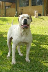 White Twister S Finn From Marina S Blue Kennel American Bulldog