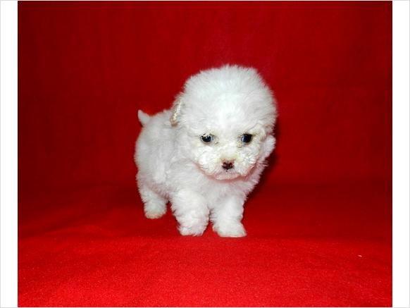 Precious Maltipoo Puppies 350 Houston Texas Maltipoo Puppy Puppies Pets