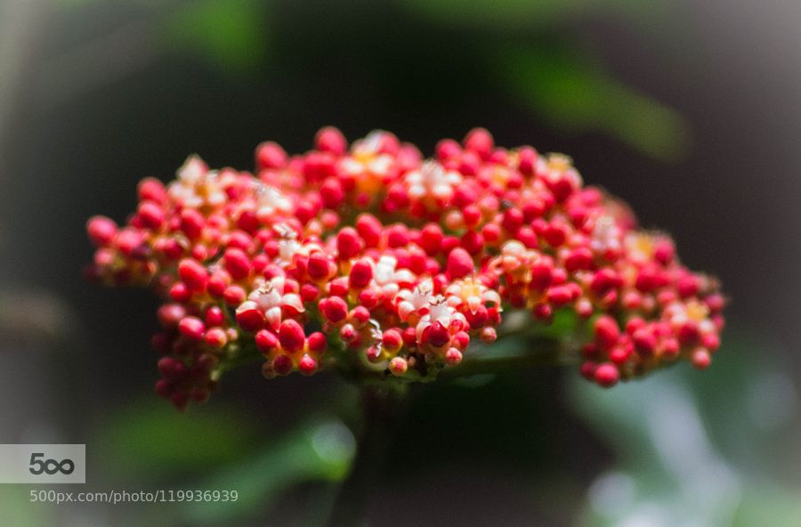 red/white flowers by Toshihiro_Shoji #nature