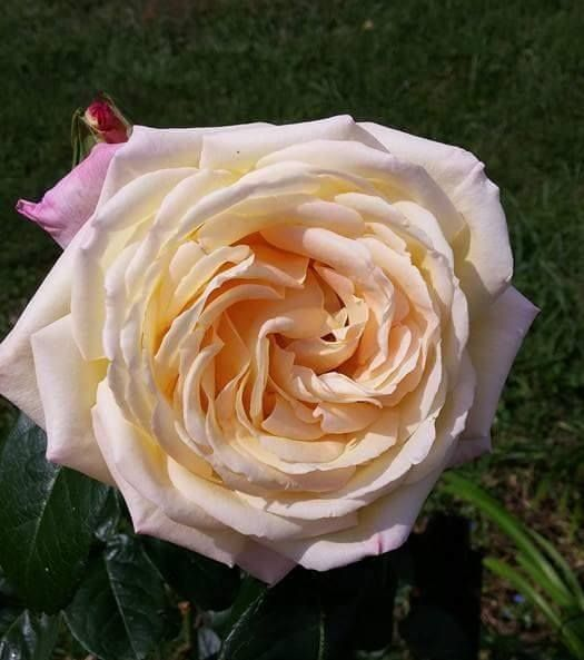 Gorgeous Peace Rose