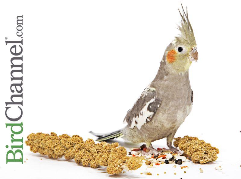 Do Cockatiels Need Millet Cockatiel Bird Pet Bird