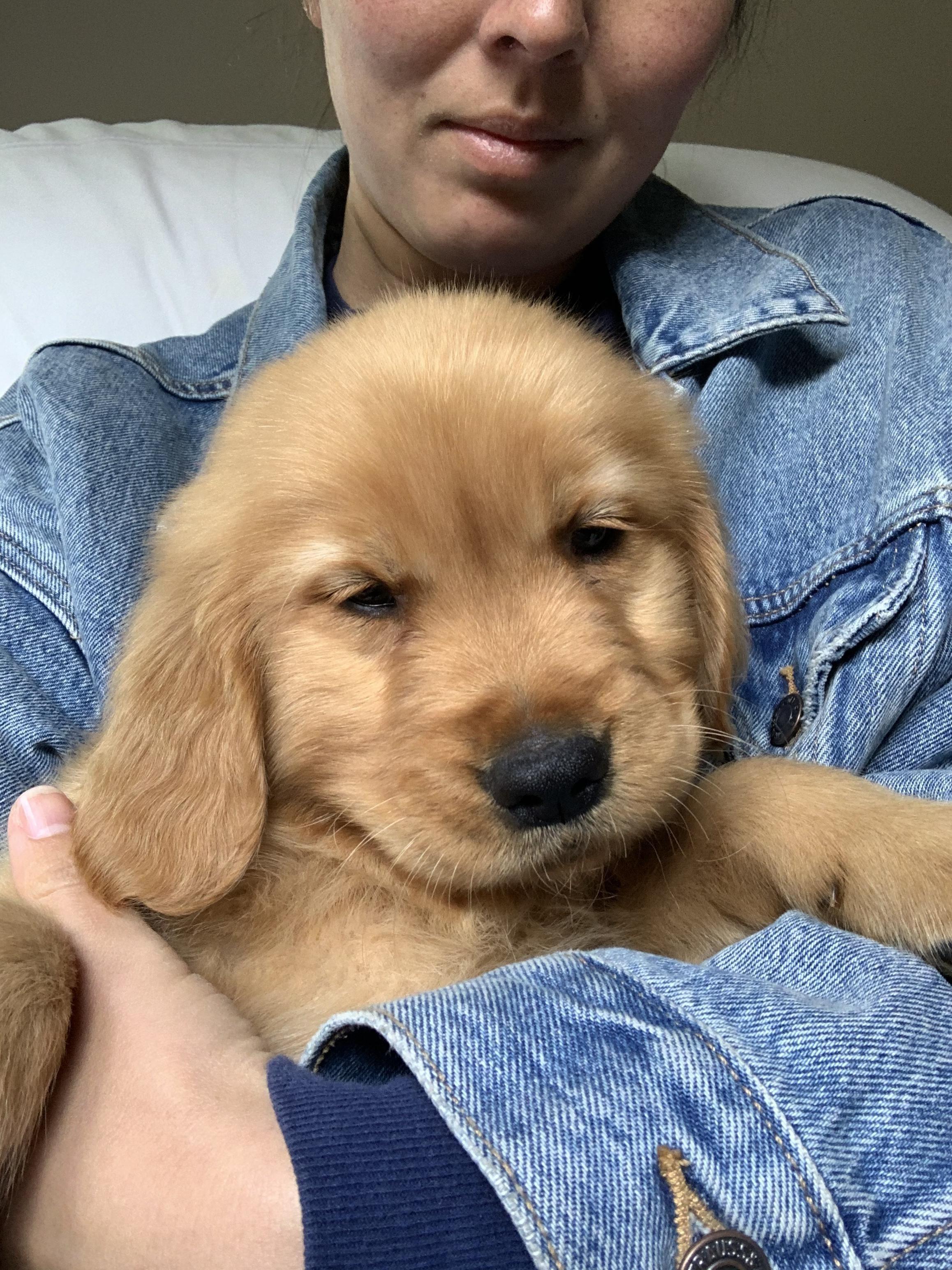 🐶🐶🐶 47+ Adorable Golden Retriever Mix Breeds ❤️❤️❤️ | Doggypedia