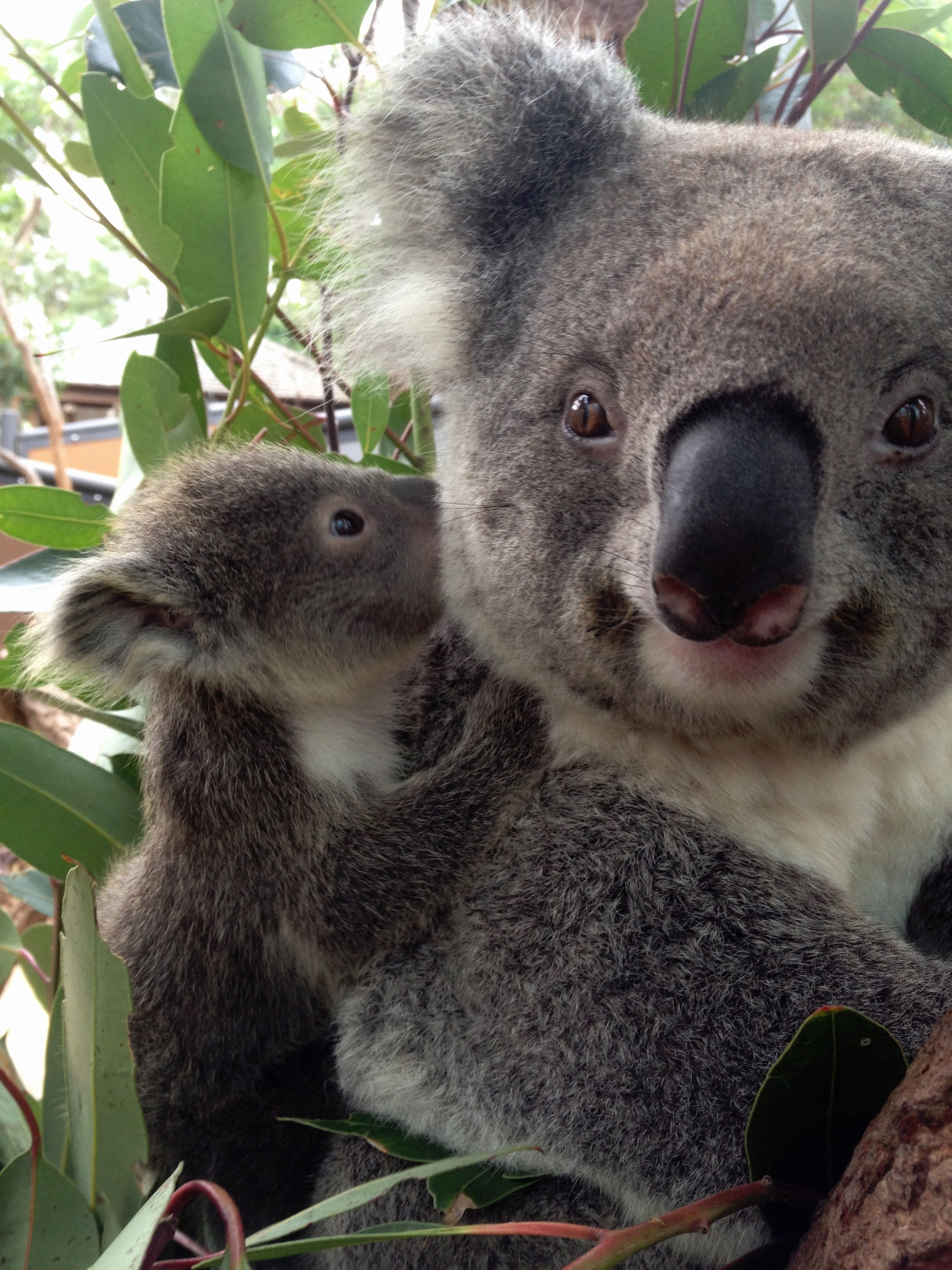I love you mommy mignons b b koala animaux et - Bebe animaux sauvage ...