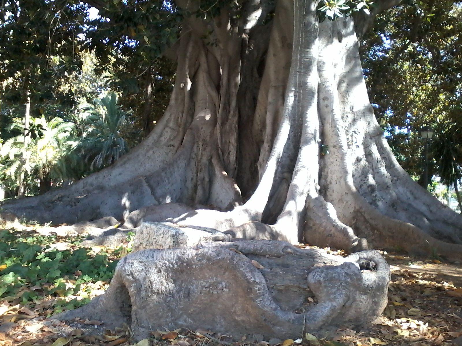 un ficus en los jardines de Picasso, Málaga