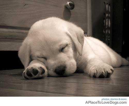 sleepy baby labrador puppy
