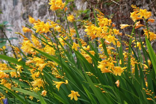 Crocosmia Yellow Lucifer Crocosmia Entry Garden Ideas Crocosmia Lucifer