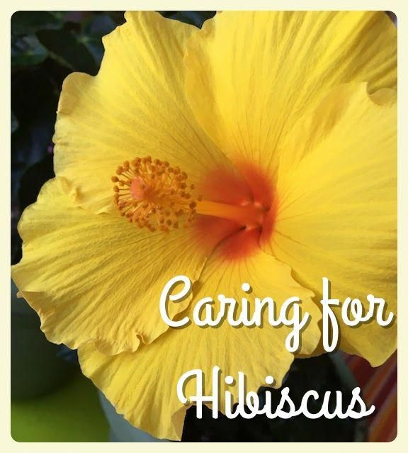 Hibiscus Flower Buds Falling Off Hibiscus Hibiscus In 2019