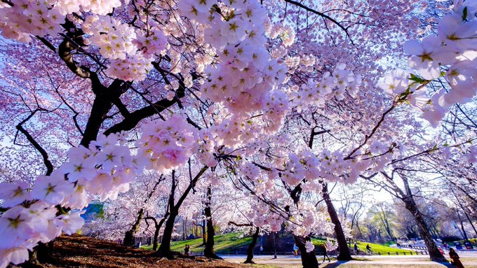 Rashada Yesmin On Twitter Cherry Blossom Wallpaper Flowers Beautiful Nature Wallpaper