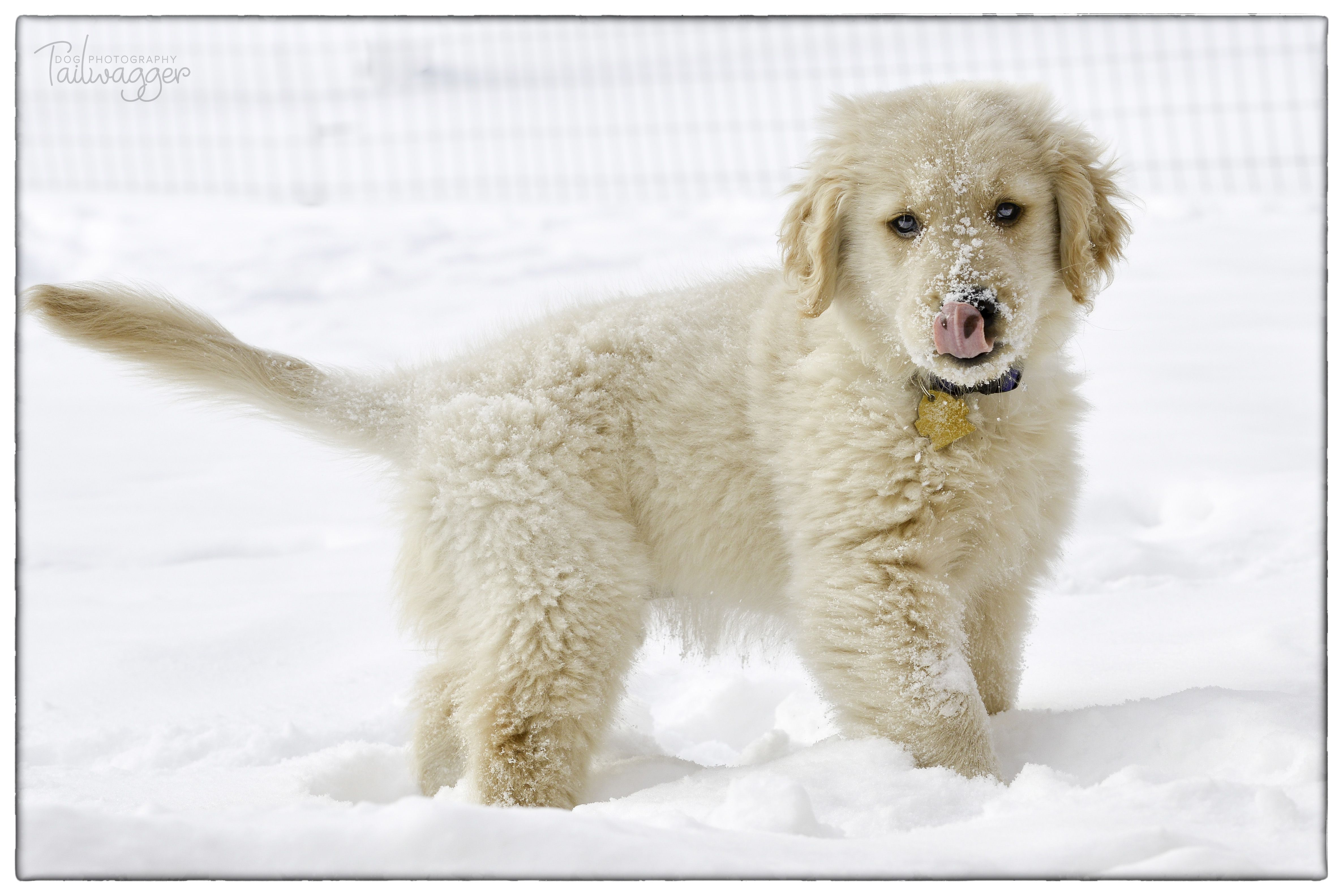 Tbt Jaspy The Puff Ball Playing In The Snow 10 Weeks Old