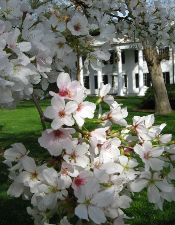 Cherry blossoms in bloom in front of Davidson College president's home. Davidson, NC.  Photo credit: DavidsonNews.net