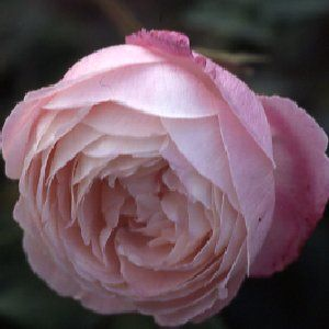 """Rosa """"Mme. Pierre Oger"""" Oger, France, 1878, Bourbon. Strong fragrance. Used in containers, as well as mixed beds and borders."""
