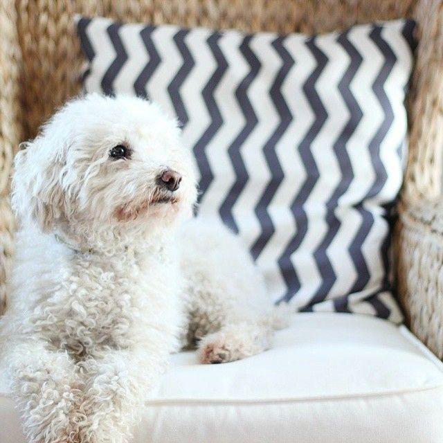 Mini Poodle love   cheekychicstudio
