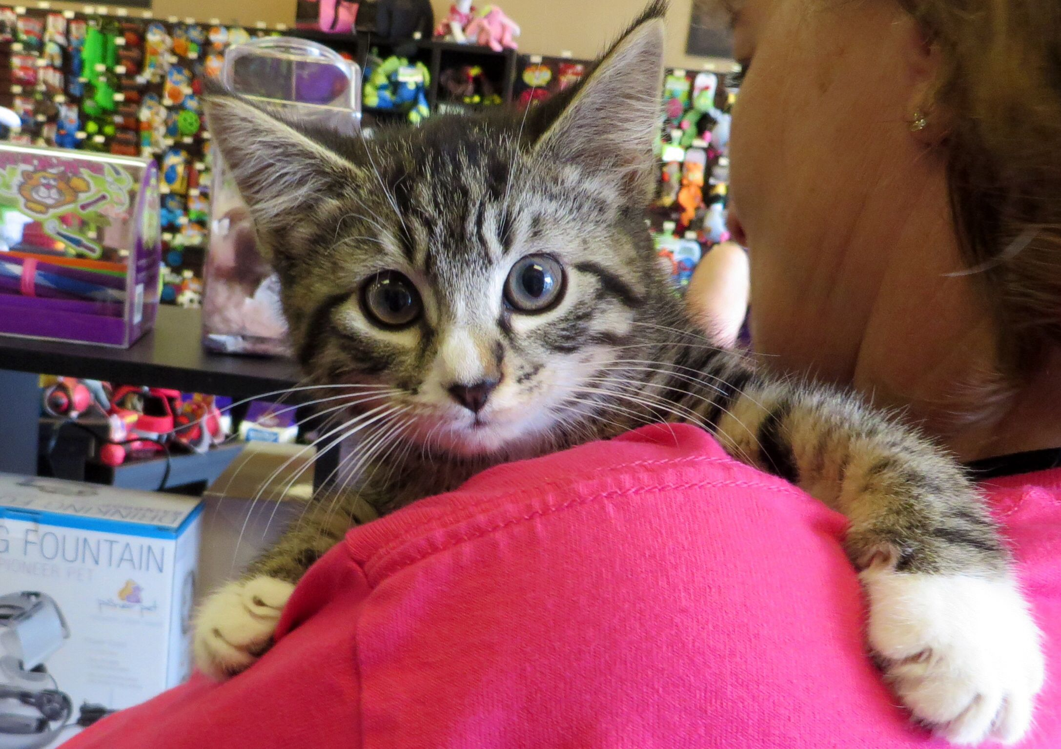 Bcas Kittens Who Have Been In Foster Homes And Are Spayed Neutered Can Be Adopted At Pet Valu On Rt 38 In The Lumberton Plaza Kit Kitten Adoption Kittens Cats