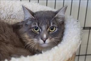Bunny Cat is an adoptable Domestic Medium Hair Cat in Napa, CA. Hello, I'm Bunny Cat (aka Frankie). I am a special lady. I am looking for someone who will be patient and caring while I learn to trust ...