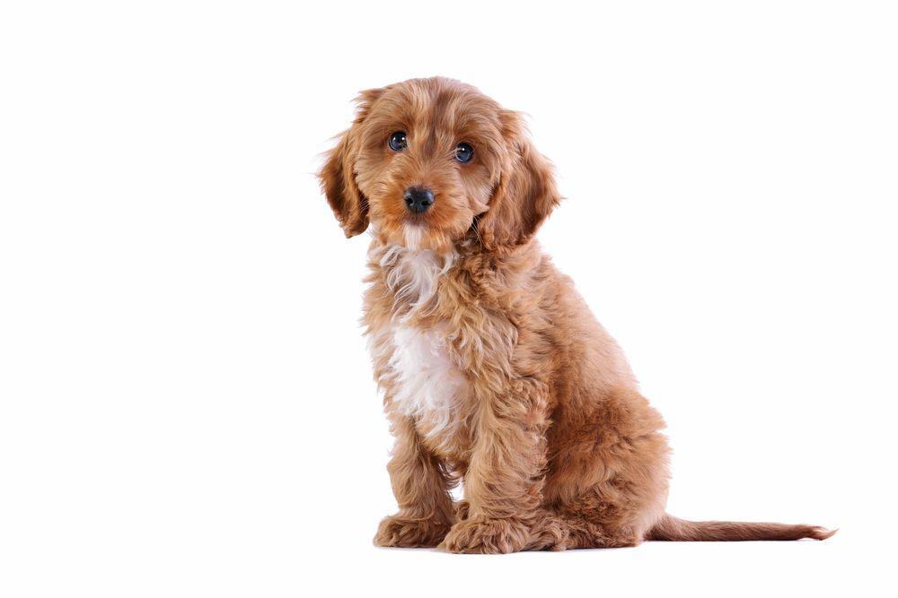 Cockapoo Puppy Http Www Localpuppybreeders Com Cockapoo Dog Breed Information Cockapoo Dog Dog Breeds Dog Crossbreeds