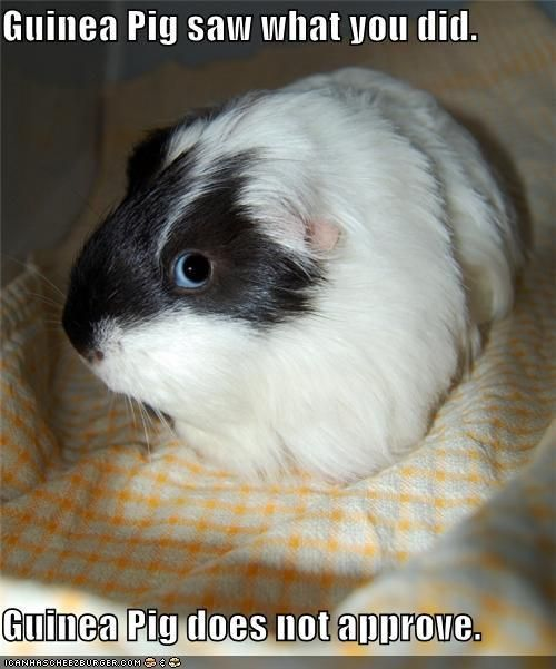 Pin On Animals Cavies