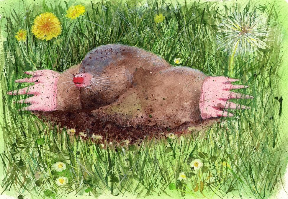 """Third #Illustration - """"Mole"""" - #watercolours and #coloured #pencils by Christine Bowron Artist."""