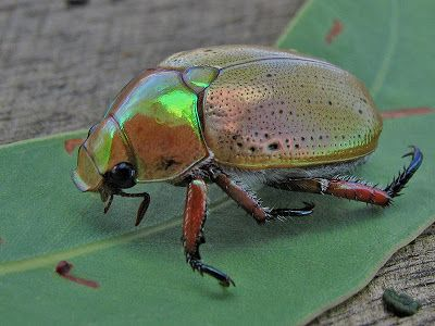 Australian Christmas Beetle. Hearing them hit against the screen door.