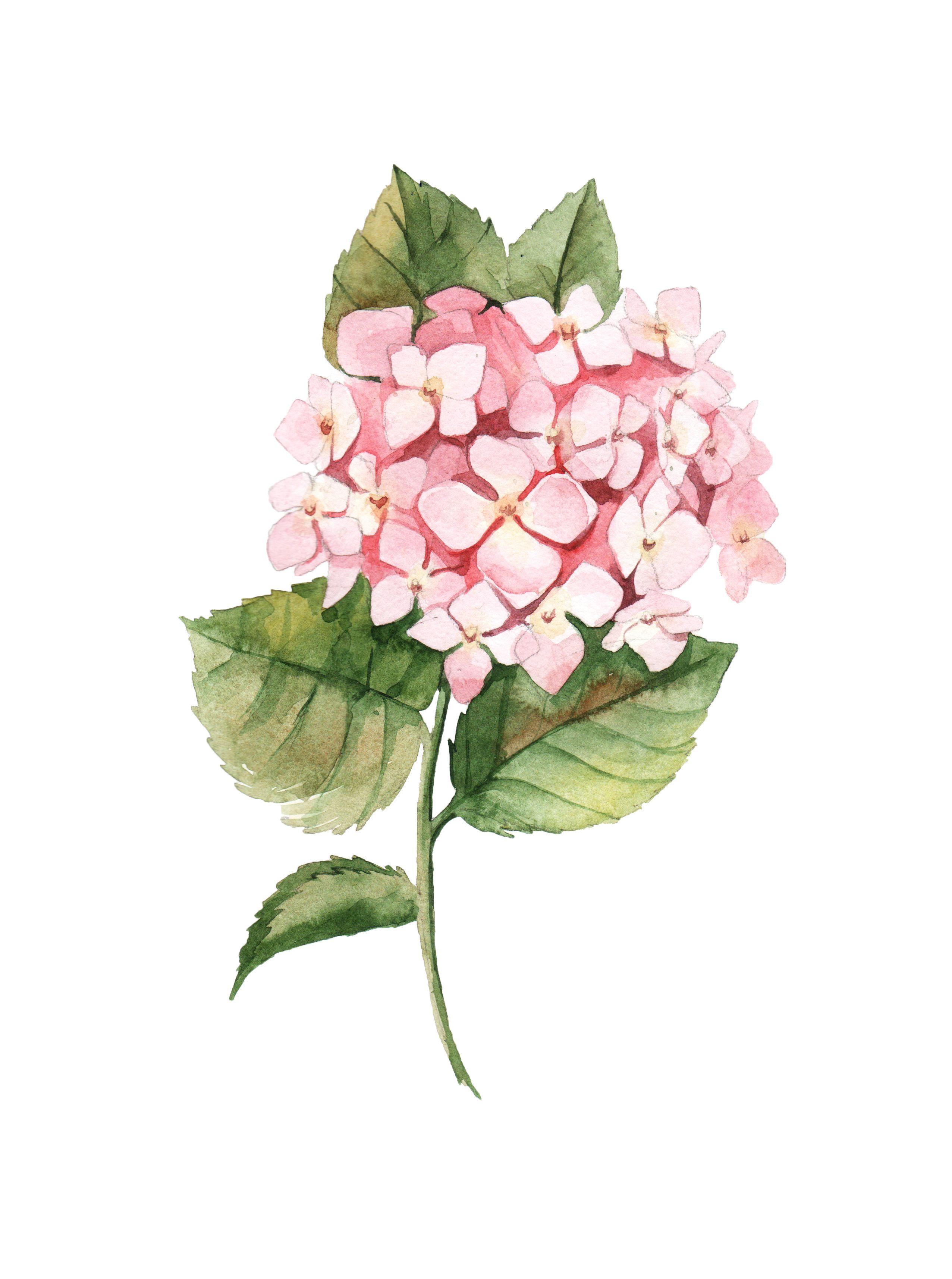 Watercolor Botanical Drawing By Aleksandra Goga Watercolor Hydrangea Botanical Drawings Watercolor Hydrangea Floral Watercolor