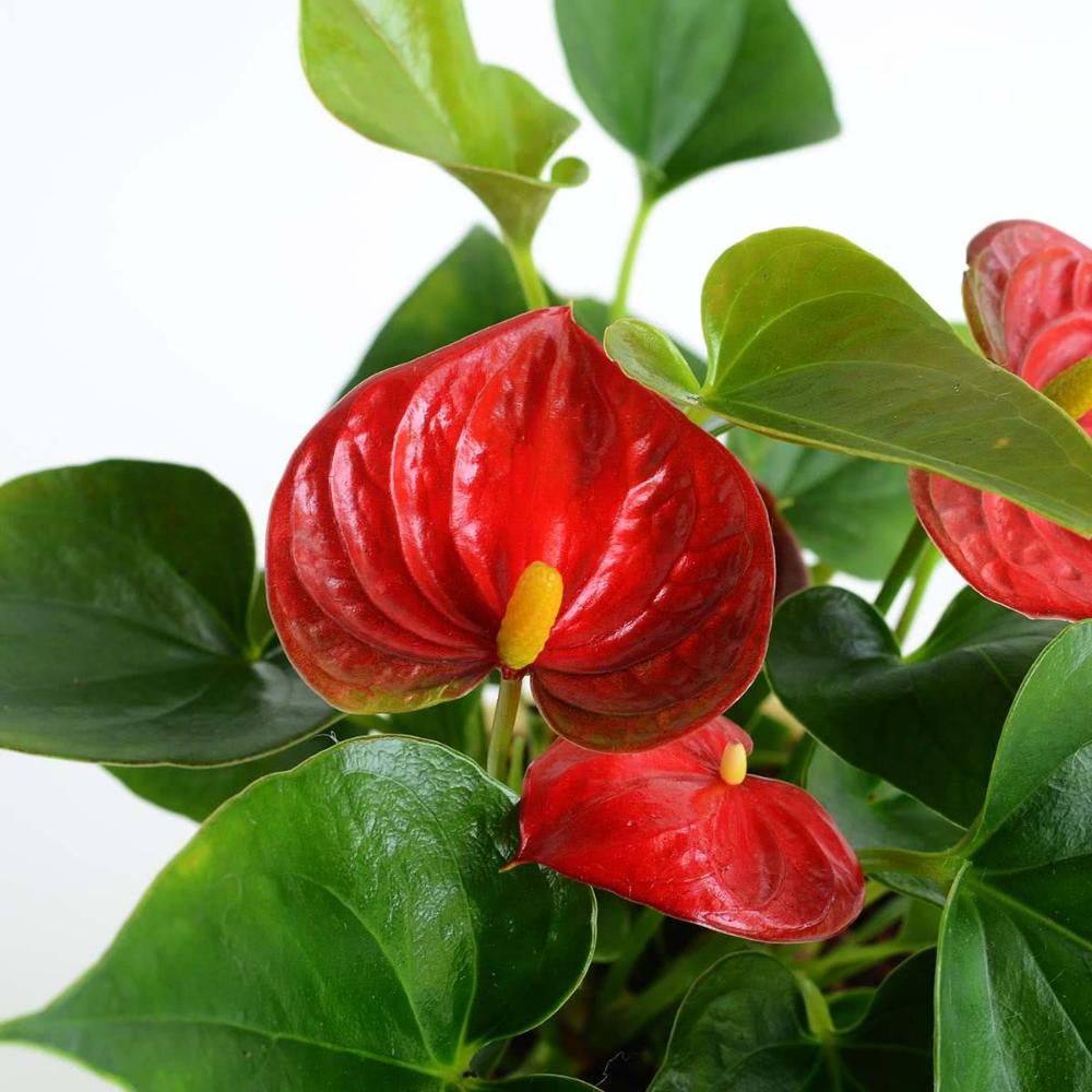 Anthurium Red Mini Plant Medium In 2020 Mini Plants Anthurium Self Watering Pots