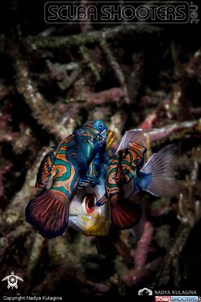 Intruder Nadya Kulagina Mandarin fish, Fish pet, Fish