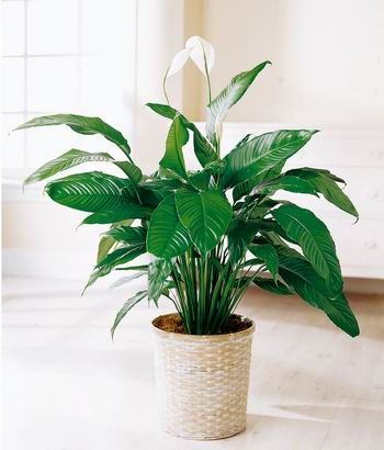 Plantas de interior cuidado de plantas house plants - Plantas ornamentales de interior ...
