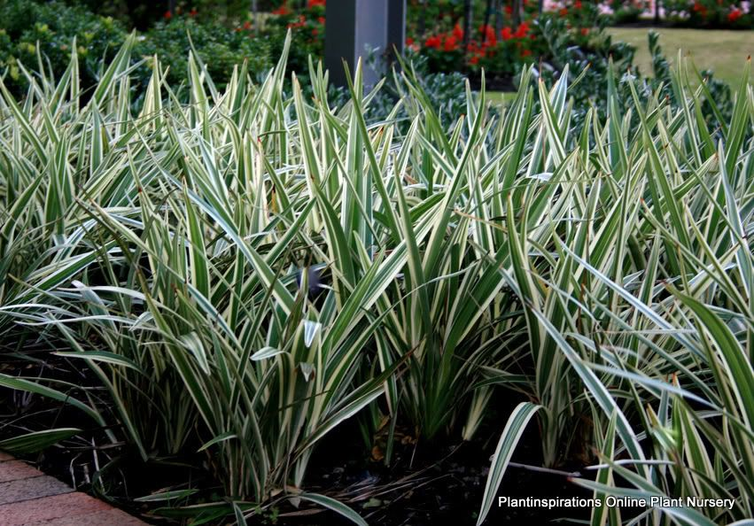 Variegated grasses that grow in shade dianella silver for Variegated grass plant
