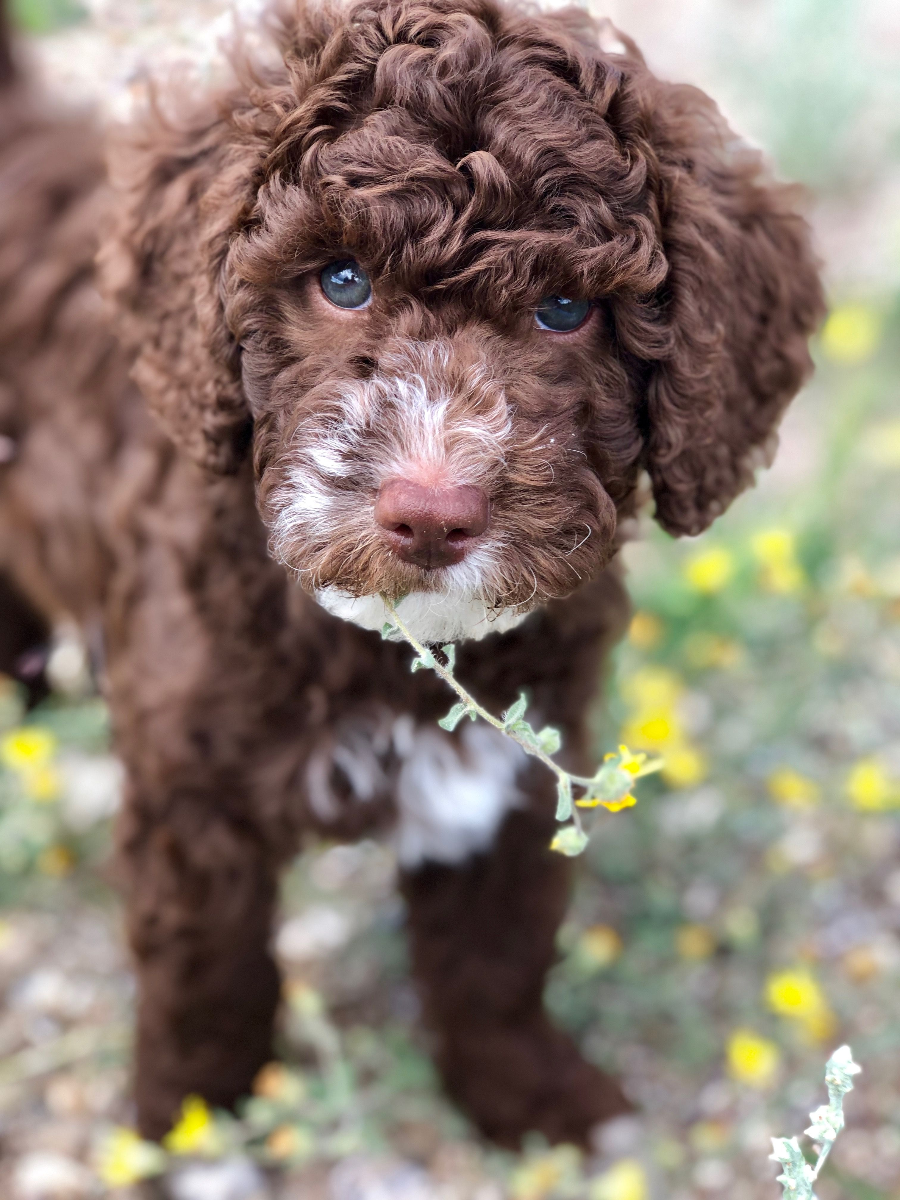 Chocolate and white australian labradoodle puppy