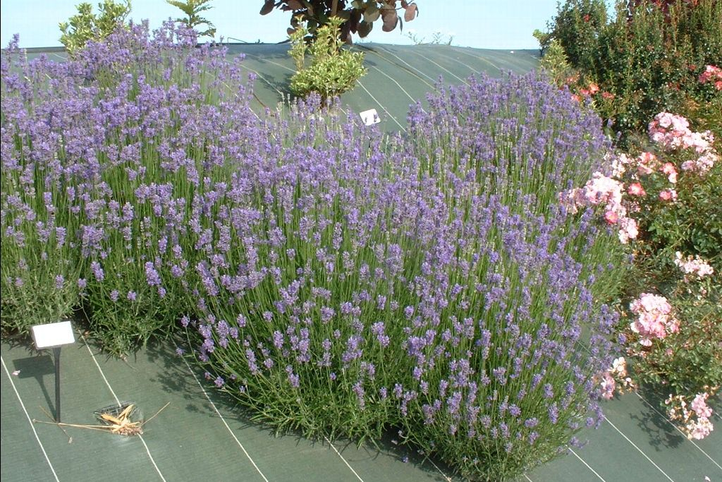 existing lavandula grosso google search condo planter pinterest lavandula lavandula. Black Bedroom Furniture Sets. Home Design Ideas